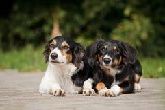 Портрет Коллиы границы 2 собак Стоковое Изображение