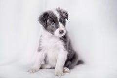Портрет Коллиы границы щенка Стоковое Изображение RF