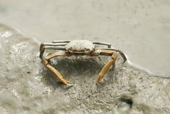 Портрет краба паука стоковое фото