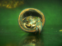 Портрет краба раков Стоковая Фотография RF