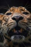 Портрет крайности близкий поднимающий вверх персидского леопарда Стоковые Изображения