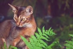 Портрет красивого абиссинского кота в естественных условиях в растительности папоротника, как хищник, стоковая фотография