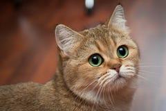 Портрет красивого великобританского черного золота кота тикал цвет BRI ny 25 с богатыми зелеными глазами стоковая фотография rf