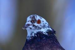 Портрет красивого домашнего голубя на солнечный весенний день Голова конца-вверх голубя Ферма голубя Стоковая Фотография RF