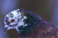 Портрет красивого домашнего голубя на солнечный весенний день Голова конца-вверх голубя Ферма голубя Стоковые Изображения RF