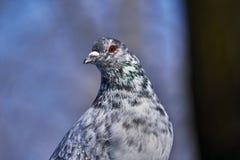 Портрет красивого домашнего голубя на солнечный весенний день Голова конца-вверх голубя Ферма голубя Стоковое Фото