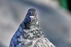 Портрет красивого домашнего голубя на солнечный весенний день Голова конца-вверх голубя Ферма голубя Стоковые Изображения