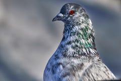 Портрет красивого домашнего голубя на солнечный весенний день Голова конца-вверх голубя Ферма голубя Стоковые Фотографии RF