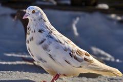 Портрет красивого домашнего голубя на солнечный весенний день Ферма голубя Стоковые Фото