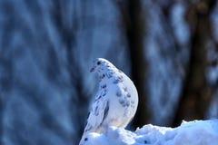 Портрет красивого домашнего голубя на солнечный весенний день Ферма голубя Стоковое Изображение RF