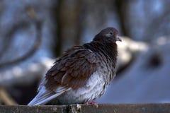 Портрет красивого домашнего голубя на солнечный весенний день Ферма голубя Стоковое Изображение