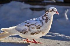 Портрет красивого домашнего голубя на солнечный весенний день Ферма голубя Стоковая Фотография