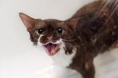 Портрет красивого кота Девона Rex смотря камеру Стоковые Изображения RF