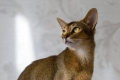 Портрет красивого молодого абиссинского кота Закройте вверх красного кота стоковое изображение rf