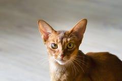 Портрет красивого молодого абиссинского кота Закройте вверх красного кота стоковое фото