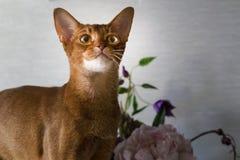 Портрет красивого молодого абиссинского кота Закройте вверх красного кота стоковые изображения rf