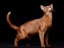 Портрет красивого молодого абиссинского кота стоковое фото rf