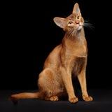 Портрет красивого молодого абиссинского кота стоковая фотография rf