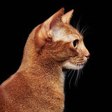 Портрет красивого молодого абиссинского кота стоковое изображение