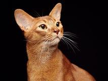 Портрет красивого молодого абиссинского кота стоковое изображение rf