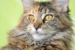 Портрет красивого молодого кота енота Мейна Стоковое Изображение