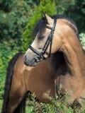 Портрет красивого пони welsh лосиной кожи Стоковые Фото