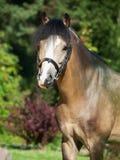 Портрет красивого пони welsh лосиной кожи Стоковые Изображения RF