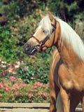 Портрет красивого пони welsh palomino Стоковое фото RF