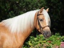 Портрет красивого пони welsh palomino Стоковая Фотография RF