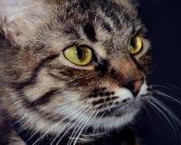 Портрет красивого принятого серого кота с ярким желтым цветом наблюдает на предпосылке blak Низкое ключевое фото стоковое изображение