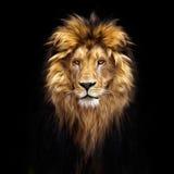 Портрет красивого льва, лев в темноте Стоковое Изображение