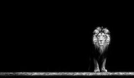 Портрет красивого льва, лев в темноте Стоковая Фотография RF