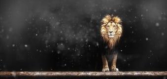 Портрет красивого льва, лев в темноте Стоковые Изображения