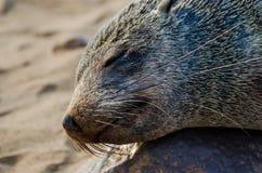 Портрет красивого южно-африканского морского котика на большой колонии уплотнения, кресте накидки, Намибии, Южной Африке Стоковые Фотографии RF