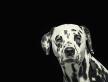 Портрет красивой далматинской собаки смотря камеру изолированную на черноте Стоковое фото RF