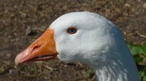Портрет красивой белой гусыни Стоковые Изображения