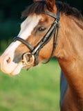 Портрет красивой конематки пони welsh конец вверх Стоковое фото RF