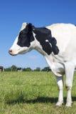 Портрет красивой коровы на зеленой траве Стоковое Фото