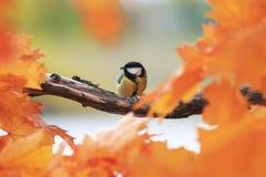 Портрет красивой маленькой птицы голубая синица сидит в t стоковое изображение