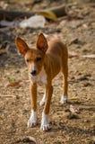 Портрет красивой молодой бездомной собаки смешанной гонки в Сьерра-Леоне, Африке Стоковые Изображения RF