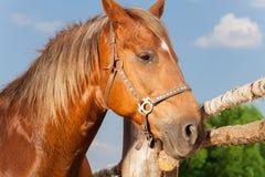 Портрет красивой лошади коричневого цвета каштана Стоковые Фото