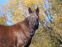 Портрет красивой серебрист-черной лошади стоковые фото