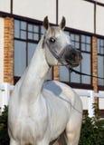 Портрет красивой серой аравийской лошади Стоковые Фото