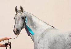 Портрет красивой серой лошади dressage Стоковое фото RF