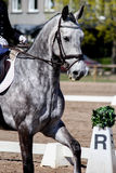 Портрет красивой серой лошади во время выставки Стоковое Изображение