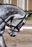 Портрет красивой серой лошади во время выставки Стоковая Фотография RF