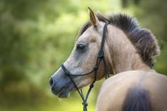 Портрет красивой чистоплеменной аравийской молодой лошади стоковое изображение