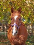 Портрет красивой ярко лошади каштана стоковые фото
