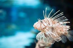 Портрет красивых ядовитых рыб льва в аквариуме стоковая фотография rf