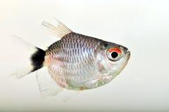 Портрет красного глаза Tetra стоковое фото rf